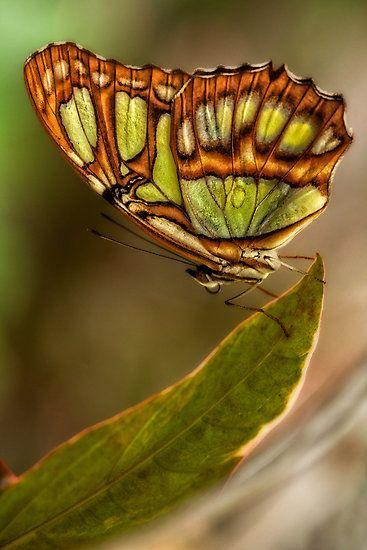 hidden beauty - butterfly by Manon Boily~~ | Butterfly