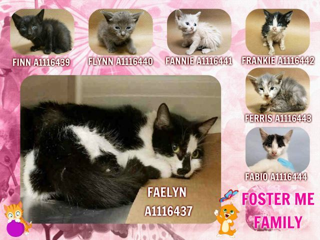 FOSTER ME FAMILY – Super Urgent Shelter Cats  These animals are either high risk, injured or have previously appeared on the To Be Destroyed list and survived. They are in danger of being on the list again or destroyed without any further notice.