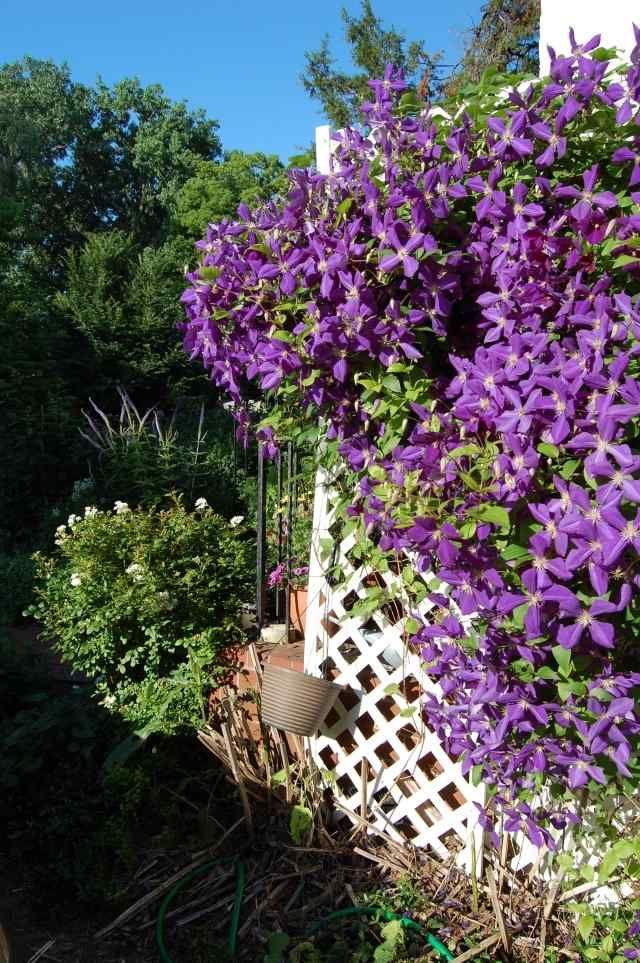clematis pflegen garten gitter lila bl ten sonnig pflanzen pinterest garten pflanzen und. Black Bedroom Furniture Sets. Home Design Ideas