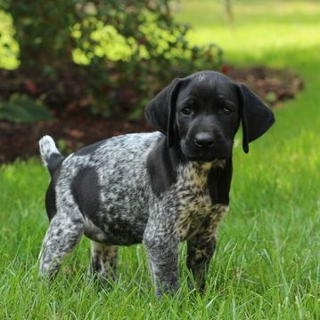 German Shorthaired Pointer Puppy For Sale In Gap Pa Adn 49669 On