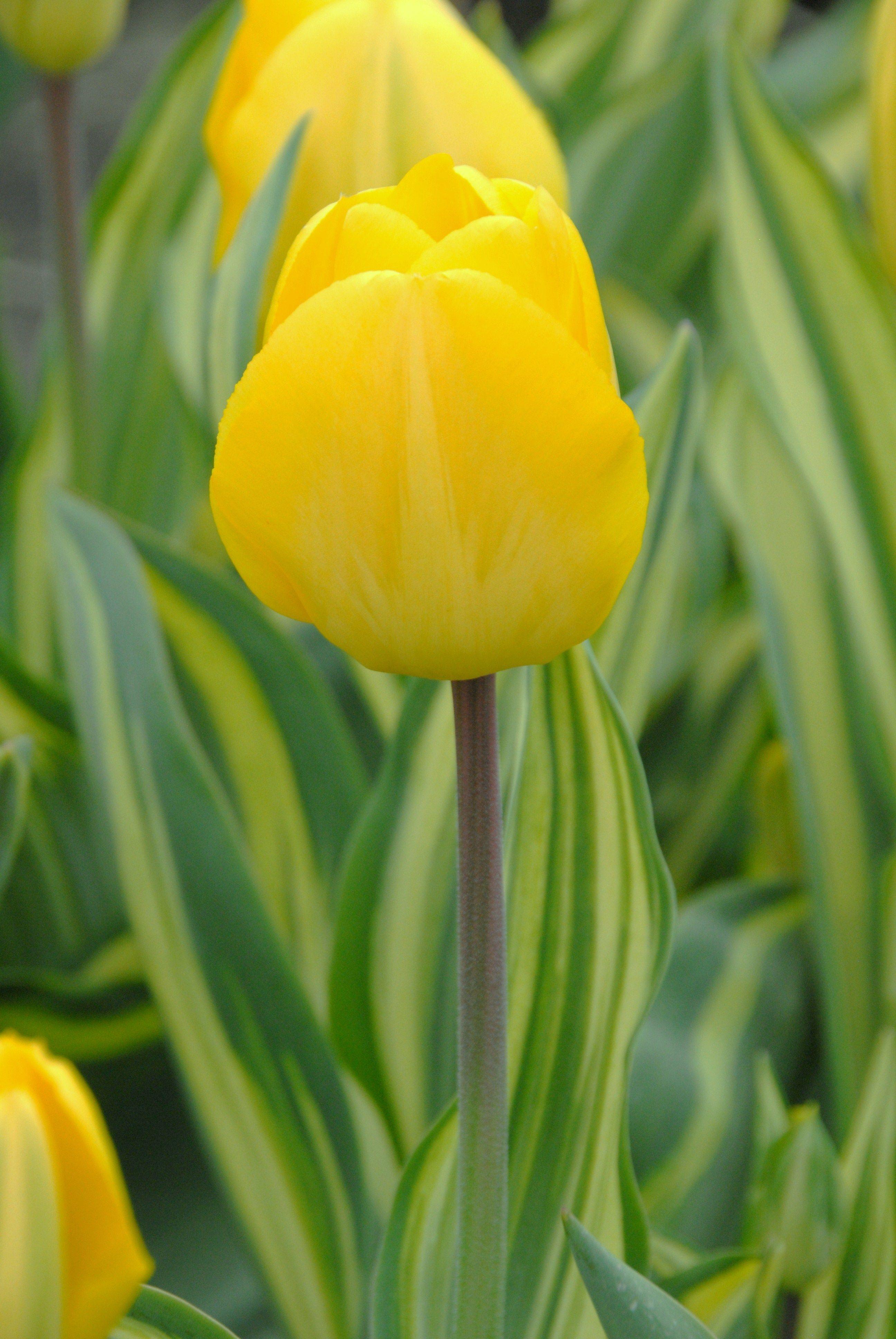 Tulp Yellow Wave, sterke gele tulp met mooi bont blad. Exclusief bij P. Pennings