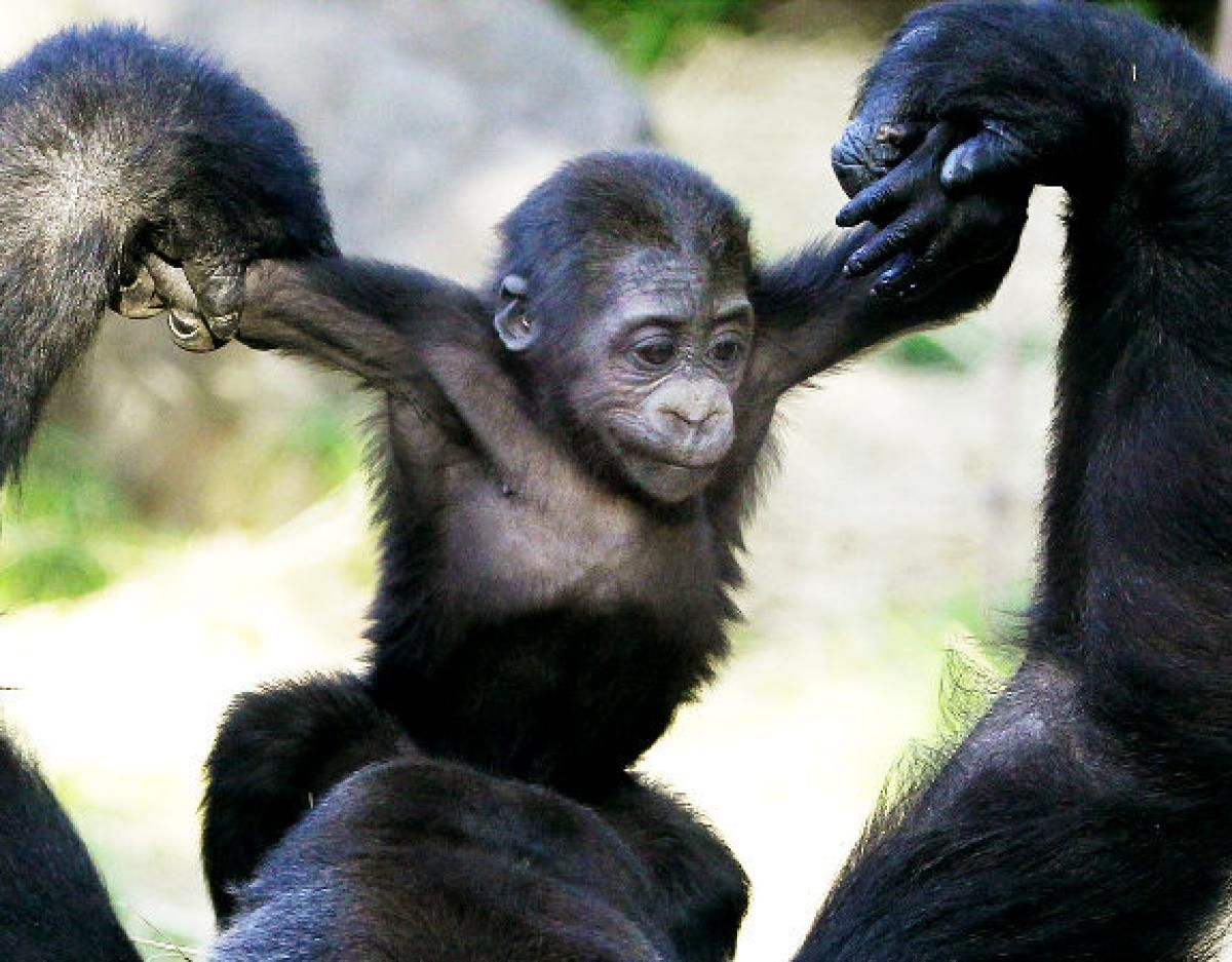 Komomo, a five-month-old Western Lowland Gorilla, gets a helping hand from her mother.