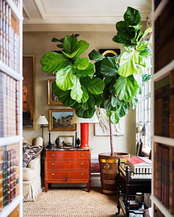 Large Fiddle Leaf Fig Interior Living Room Plants Indoor Fig Trees Room With Plants