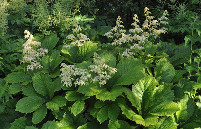 Rodgersia aesculifolia Kastanienblättrige Rodgersie Schaublatt - bauerngarten anlegen welche pflanzen