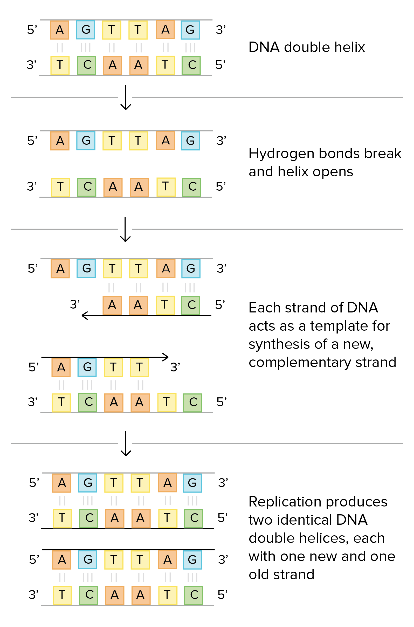 The Basic Mechanisms Of Dna Replication Are Similar Across