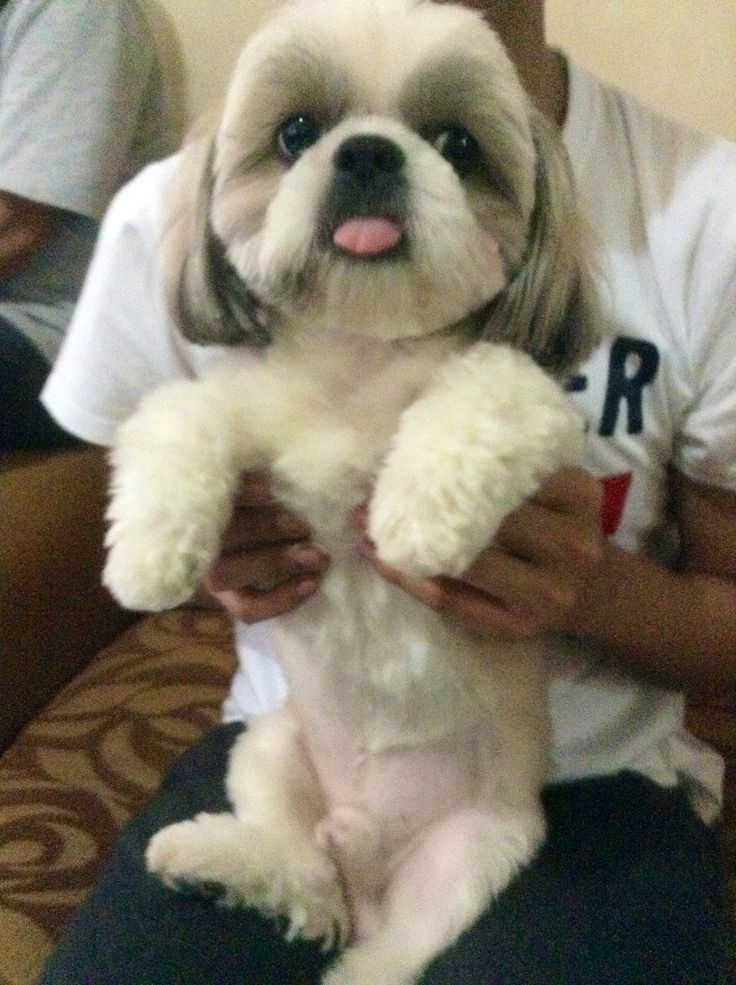 Image Result For Lhasa Apso Short Hair Shih Tzu Dog Cute Animals Pretty Dogs