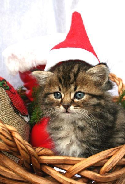 Christmas Cat #cat http://pinterest.com/ahaishopping/