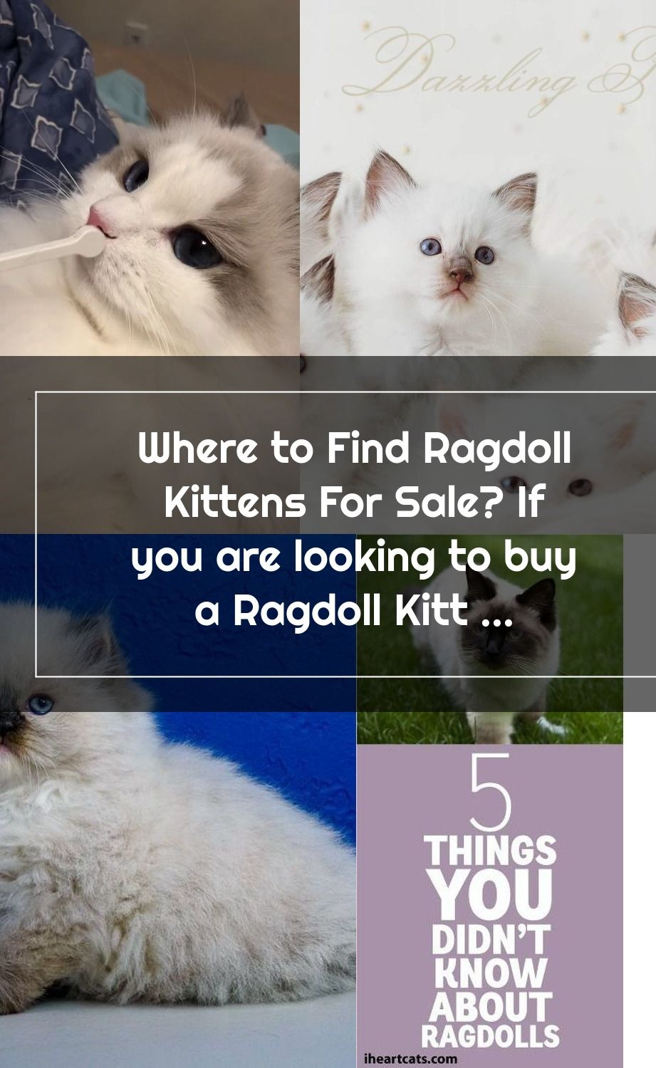 Where To Find Ragdoll Kittens For Sale If You Are Looking To Buy A Ragdoll In 2020 Ragdoll Kittens For Sale Ragdoll Kitten Kitten For Sale