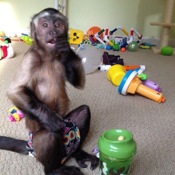 Instagram Photo By Monkeymombex Monkeymombex Via Iconosquare Pet Monkey Cute Monkey Animals Beautiful
