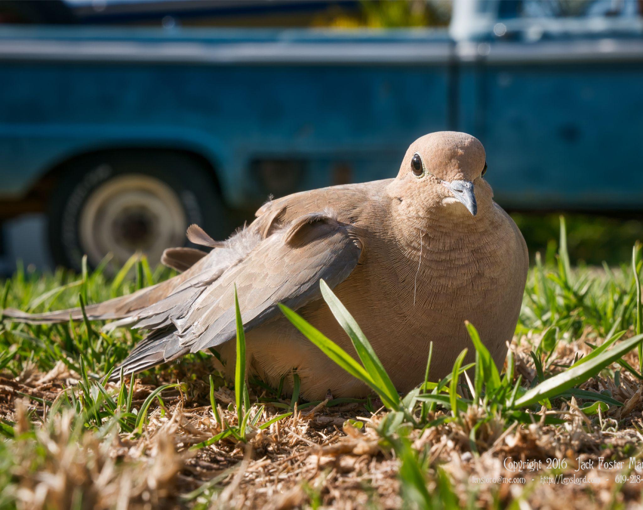 Broken Winged Dove - Poor Baby - Bird Rescue Called ...