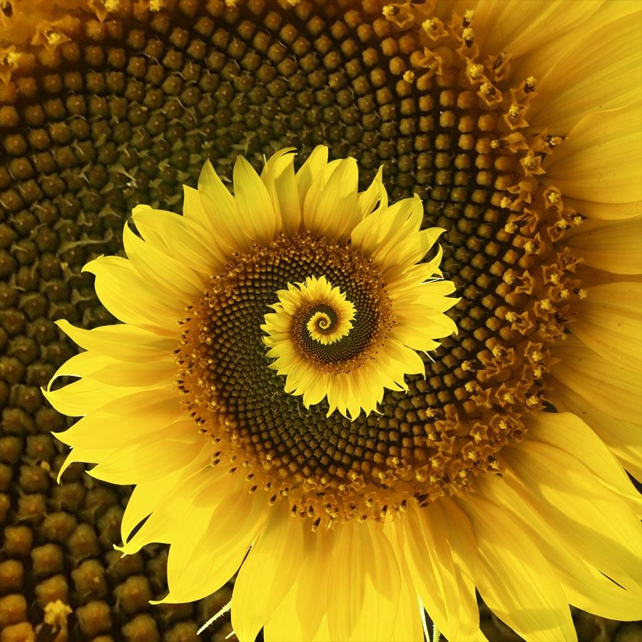 Spiral Sunflower Sunflower Pictures Sunflower Photo Sunflower Art