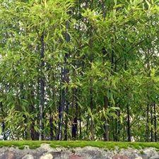 photo de bambou noir phyllostachys nigra bambous pinterest bambou plante exterieur et. Black Bedroom Furniture Sets. Home Design Ideas