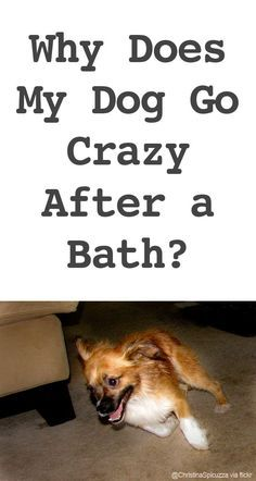 Ask A Dog Trainer Why Does My Dog Go Crazy After A Bath For My