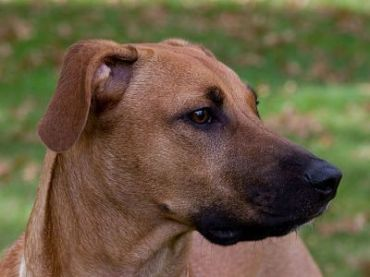 Compare Dogs: Rhodesian Ridgeback vs Black Mouth Cur ...