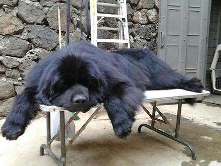 Gigante Terranova Large Dog Breeds Newfoundland Puppies Huge Dogs