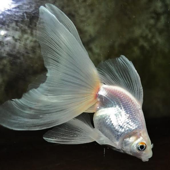 Вуалехвост аквариумная рыбка: содержание и фото-видео ...