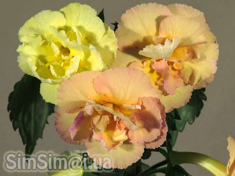 Beauty Will Save The World Achimenes Yellow English Rose English Roses Rose Room With Plants