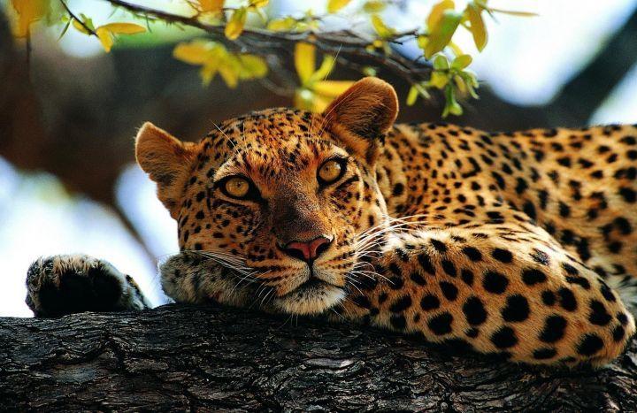 Amur Kids Facts Leopard