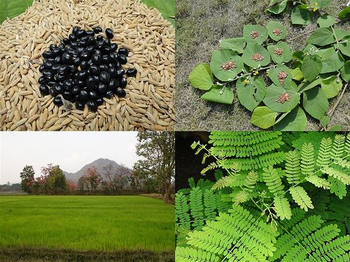 Medicinal Rice Formulations for Diabetes Complications, Heart and Kidney Diseases (TH Group-74) from Pankaj Oudhia's Medicinal Plant Database