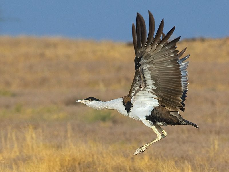 conservation india gib campaign update rajasthan launches project great indian bustard