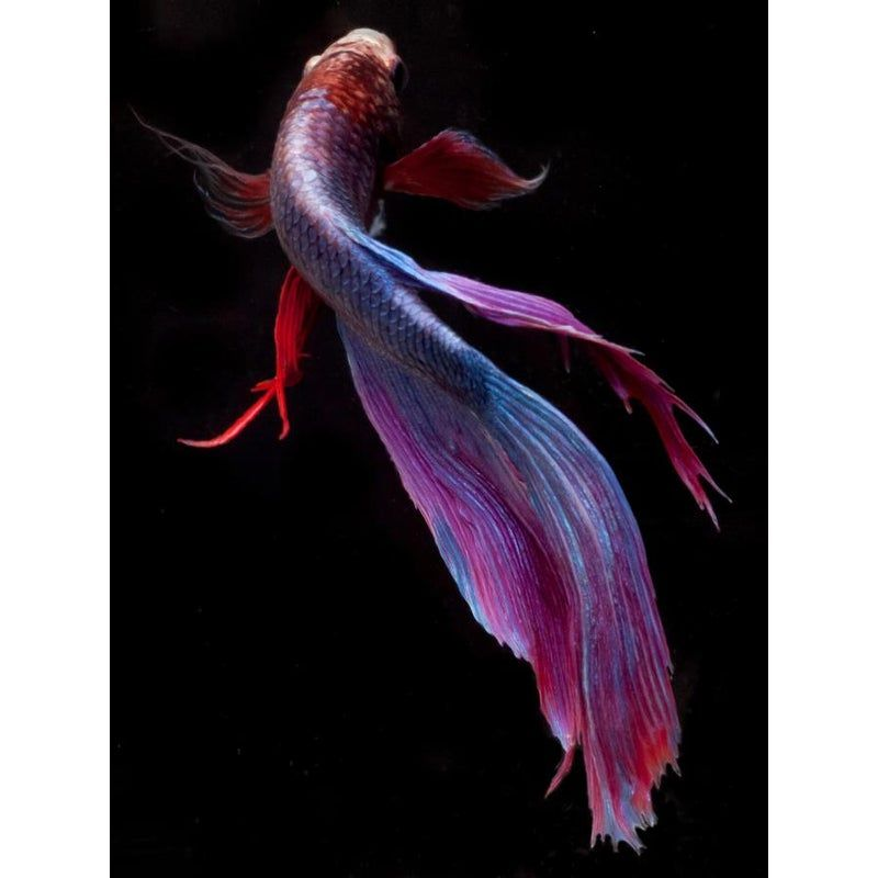 Color photograph of a Beta fish swimming on black
