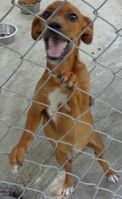 Kornelius is a 5 month old male doxie mix. He is super sweet and ready for a new home; hw-