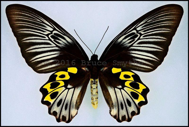 Troides Hypolitus Cellularis -Female -Seram, Indonesia -(6.75 in wingspan)