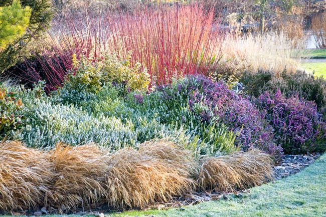 A Glowing Winter Border With Dogwood Heath And Grasses Heather Gardens Winter Garden Winter Plants
