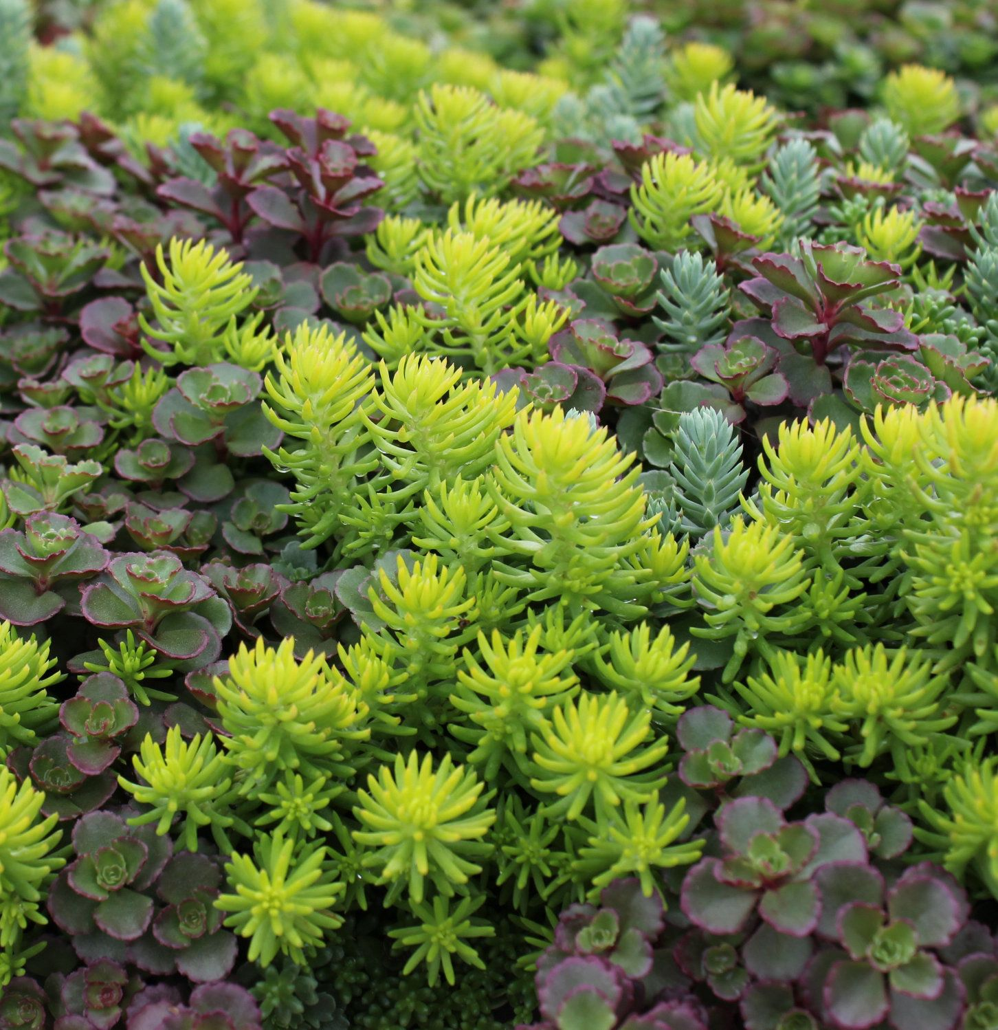 15 Impossible To Kill Outdoor Plants With Images Sedum Garden Outdoor Plants Sedum Plant
