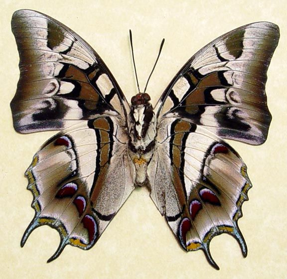 Polyura Cognatus verso Real Framed Exotic Brush Footed Dagger Tails Charaxes From Celebes #tattoocelebration #butterflies