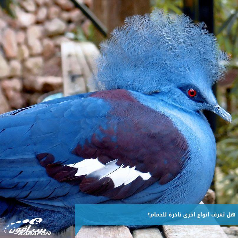 تسمى حمامة فكتوريا المتوجه وميزة هذا الطائر لا يمكن أن يأكل وهو داخل القفص والأنثى لا تبيض الا بيضه واحده بالسنة سبحان الله Birds Animals Bird