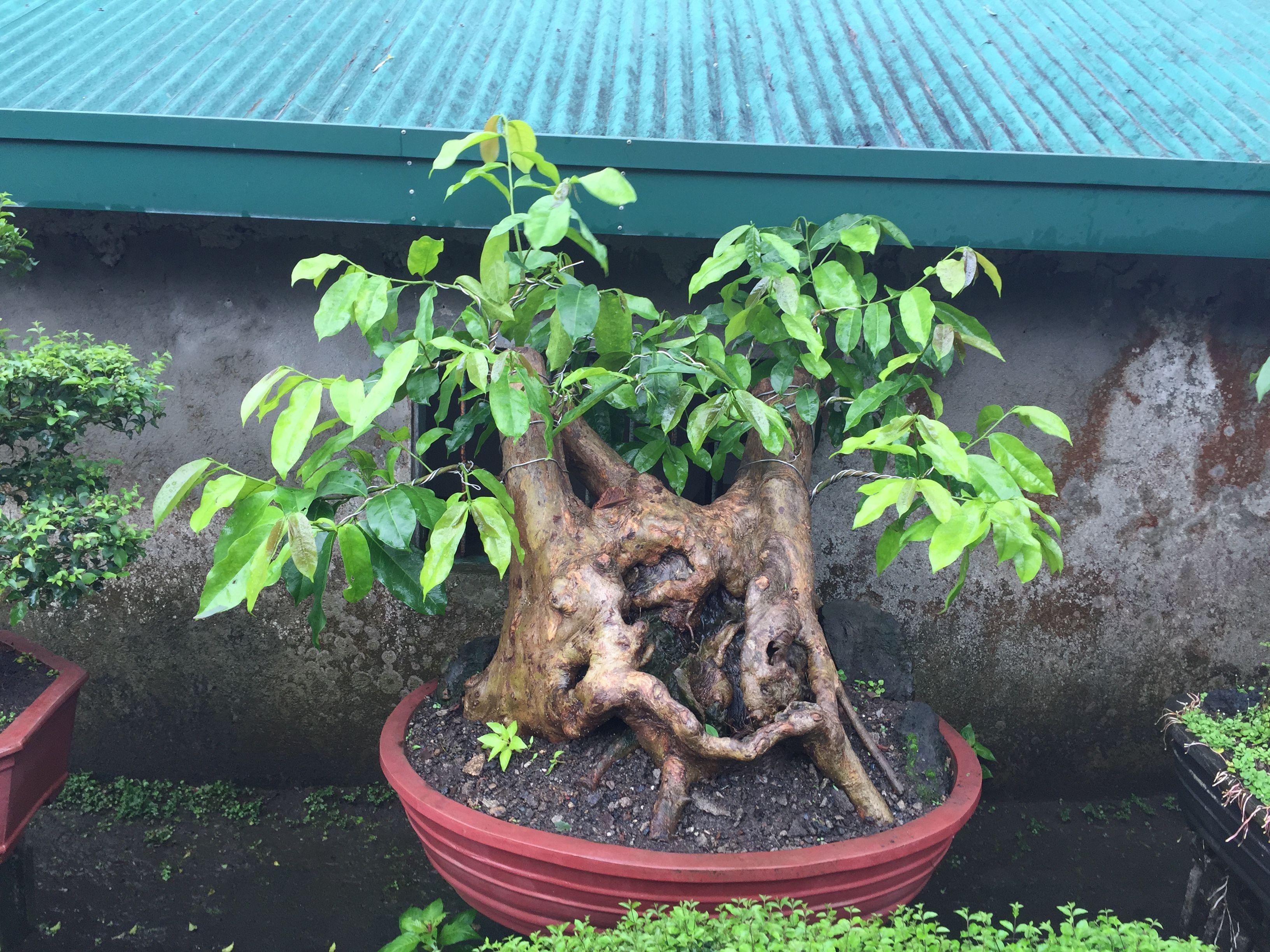 Roadside Bonsai Sales Tagaytay Philippines Bonsai Plants Bonsai Bougainvillea Bonsai