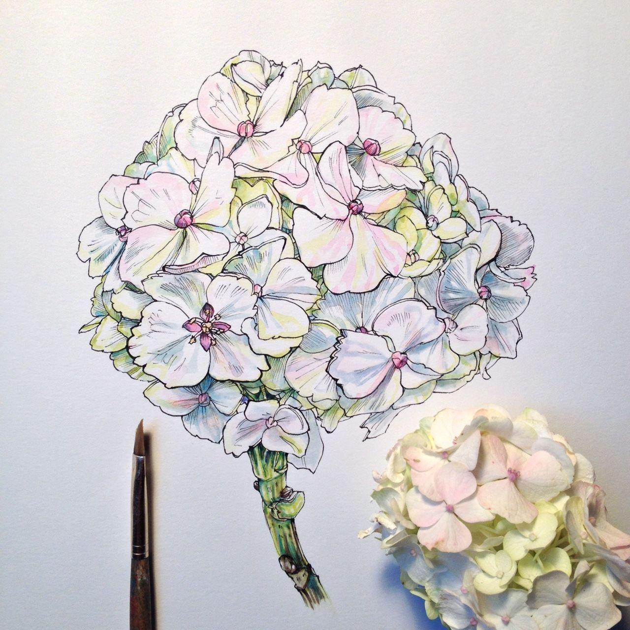Hydrangea study illustration pinterest hydrangea noel and badges