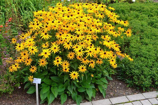 Gewöhnlicher Sonnenhut - Cosmea Garten Pinterest Sonnenhut - gartenpflanzen