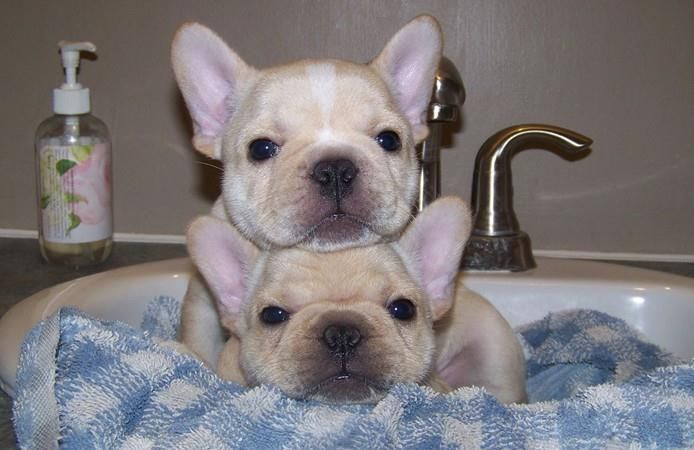 Cute French Bulldog Puppies Puppies Frenc
