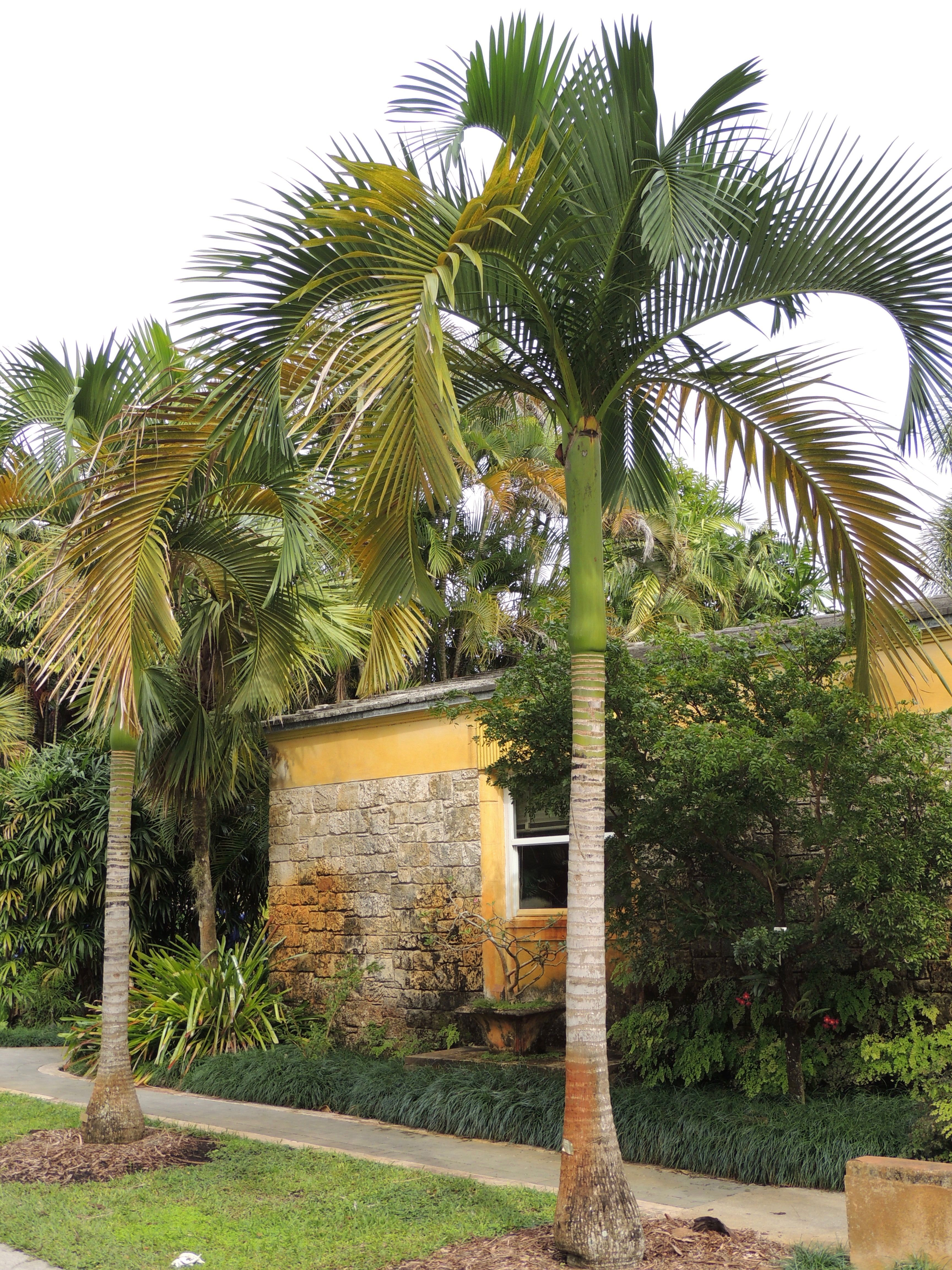 Carpoxylon macrospermum Fairchild Tropical Gardens c942effeaf73e