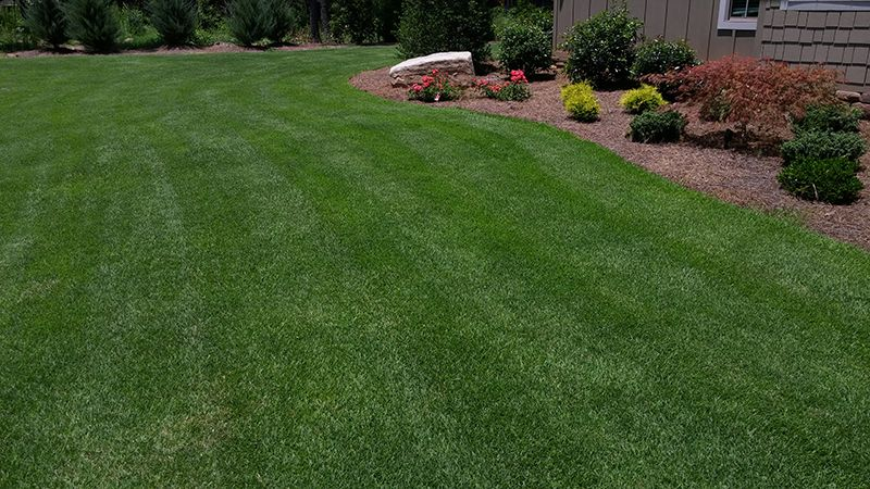 Zenith Zoysia Grass Seed For Sale Grass Seed Zoysia Grass Seed Zoysia Grass