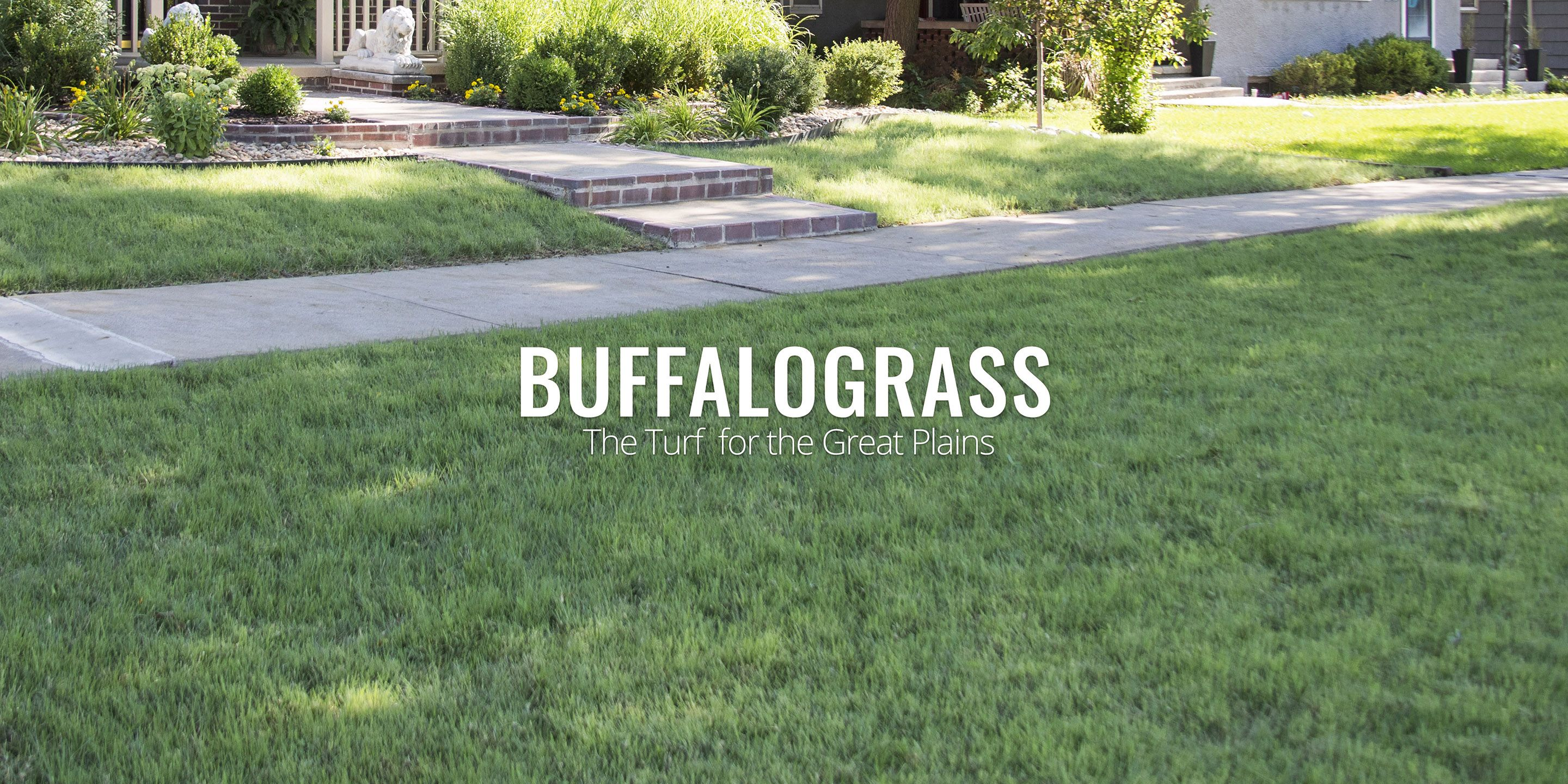 Our Turf Type Buffalo Grass Is An Industry Standard Find Out How You Could Plant The Seed Now And Have An Establish Buffal Warm Season Grass Grass Type Seeds