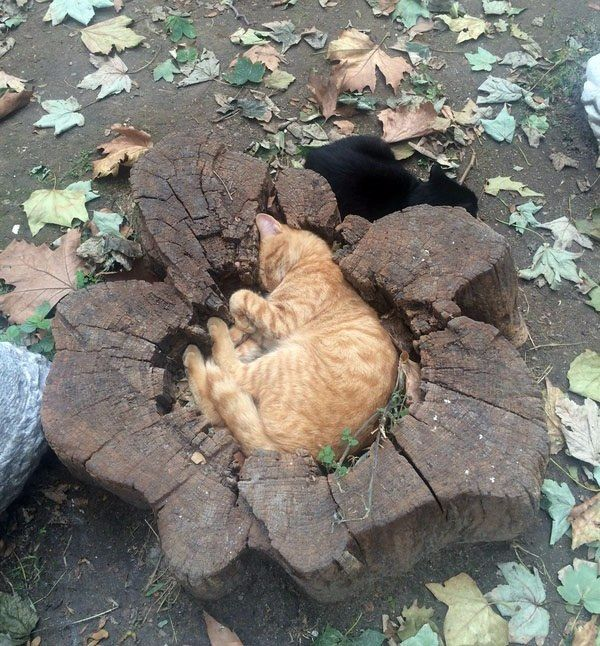 When they cut this tree down, I bet they didn't know there was a cat inside.