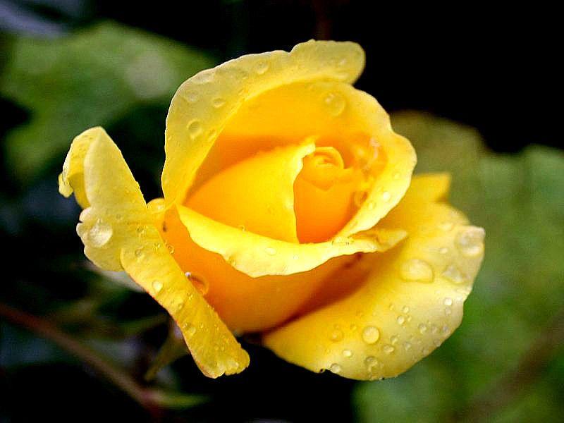Single Yellow Rose Rose Yellow Roses Amazing Flowers