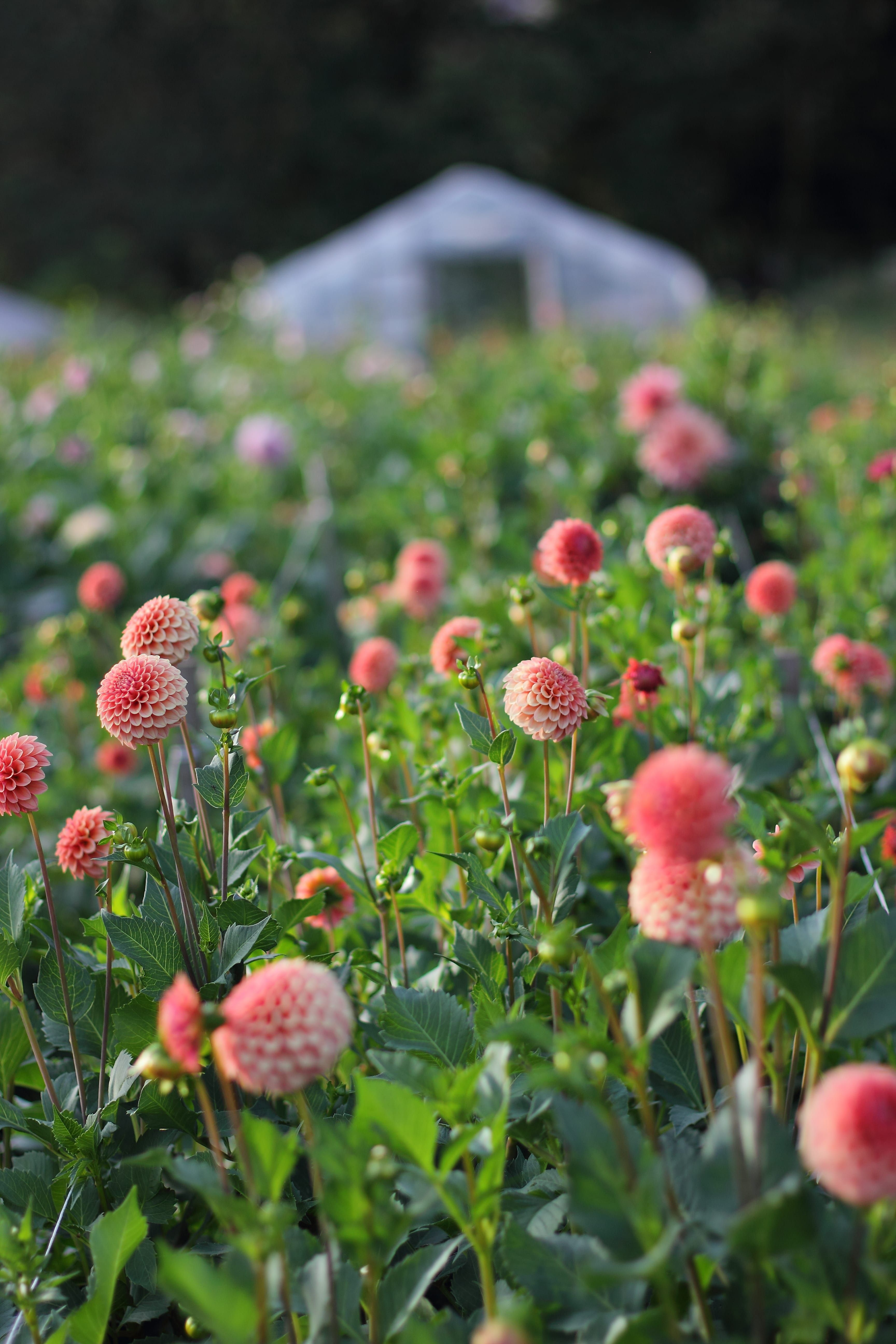 Dahlias 'Rose Toscano' growing in the fields at Love 'n