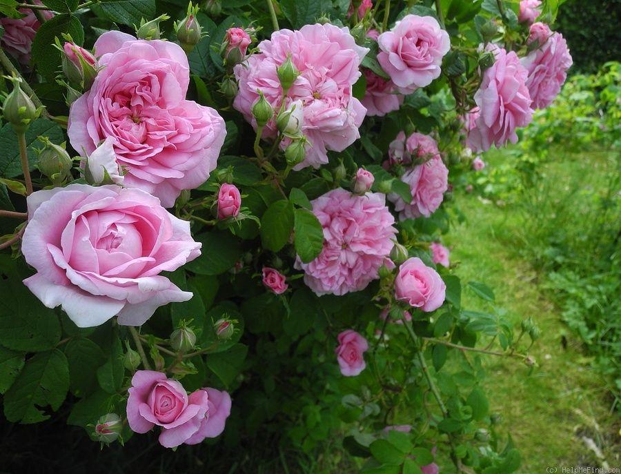 Ispahan Rose Photo Rose Photos Rose Pink Roses