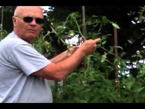 Tomato Growing Tips - Staking, Tying and Removing Suckers