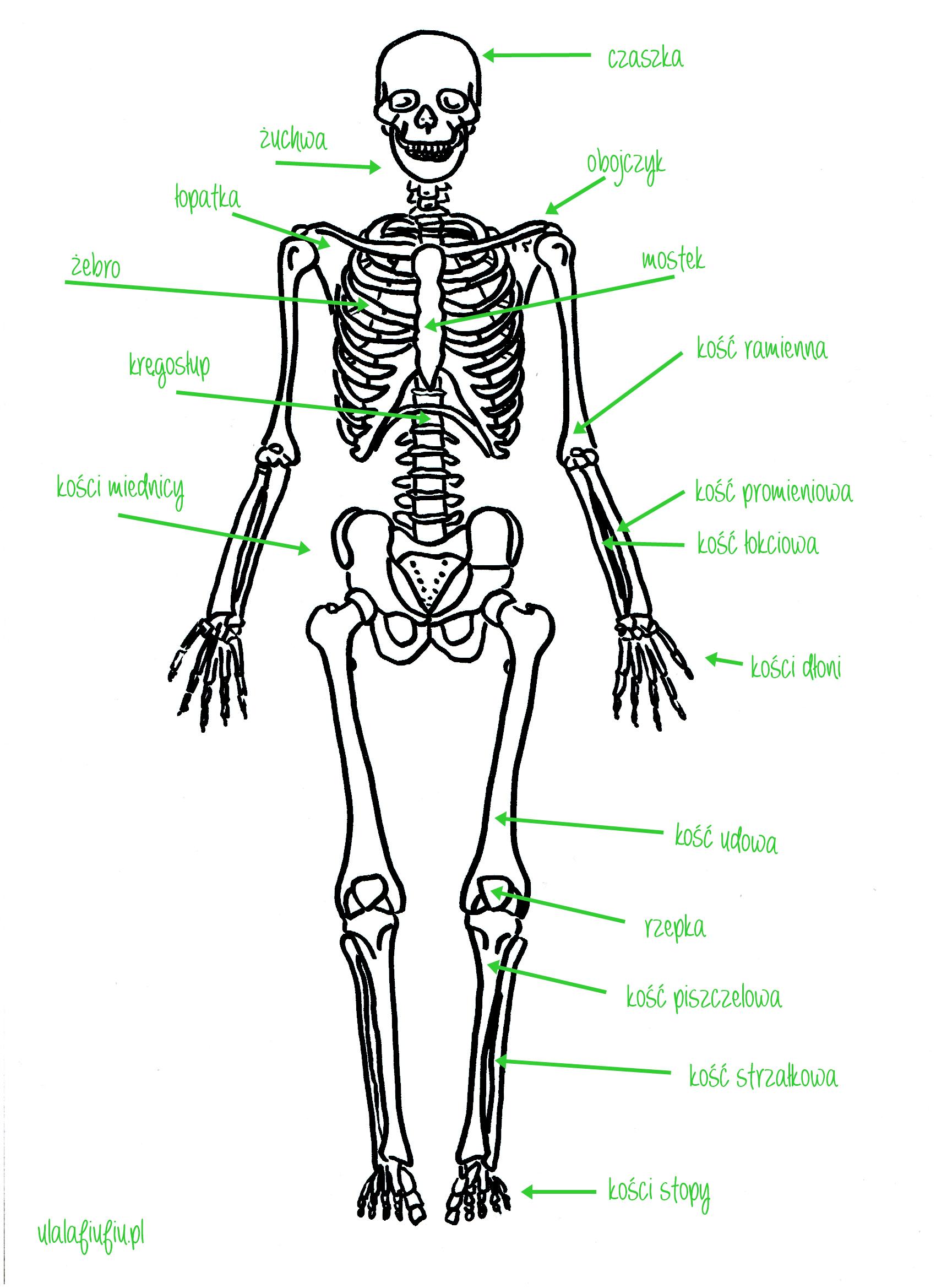 szkielet człowieka sceleton puzzle | edukacja | Pinterest | Anatomía