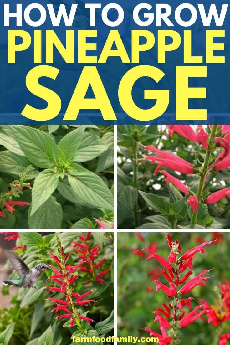 Growing Pineapple Sage in the Country Herb Garden  Farm Food Family is part of Growing pineapple - While many garden herbs supply a useful quantity of leaves for tea and garnish, they fail to provide pleasing flowers and color to the garden  Pineapple sage is the exception to the rule