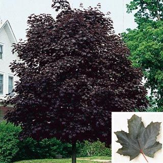 Crimson King Maple Tree Red Maple Tree Red Maple Tree Front