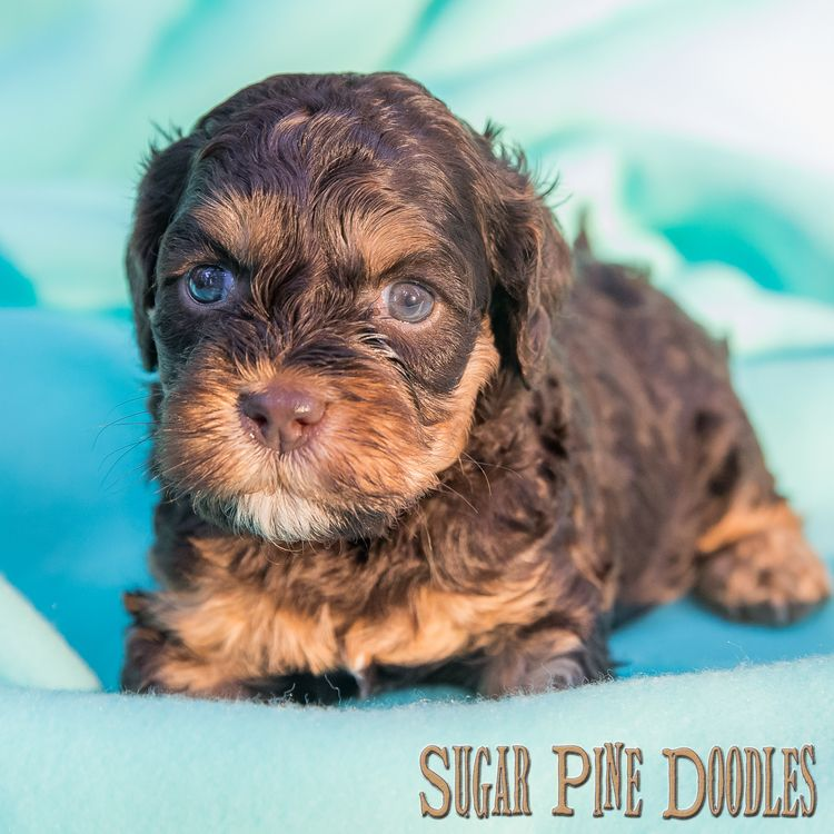 Sugar Pine Doodles Australianlabradoodle Puppy Labradoodle Puppies Www Sugarp Labradoodle Puppy Labradoodle Puppies For Sale Australian Labradoodle Puppies