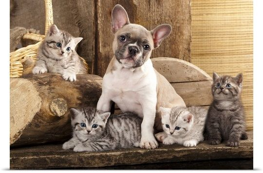 Kittens And French Bulldog Puppy Bulldog Puppies French Bulldog