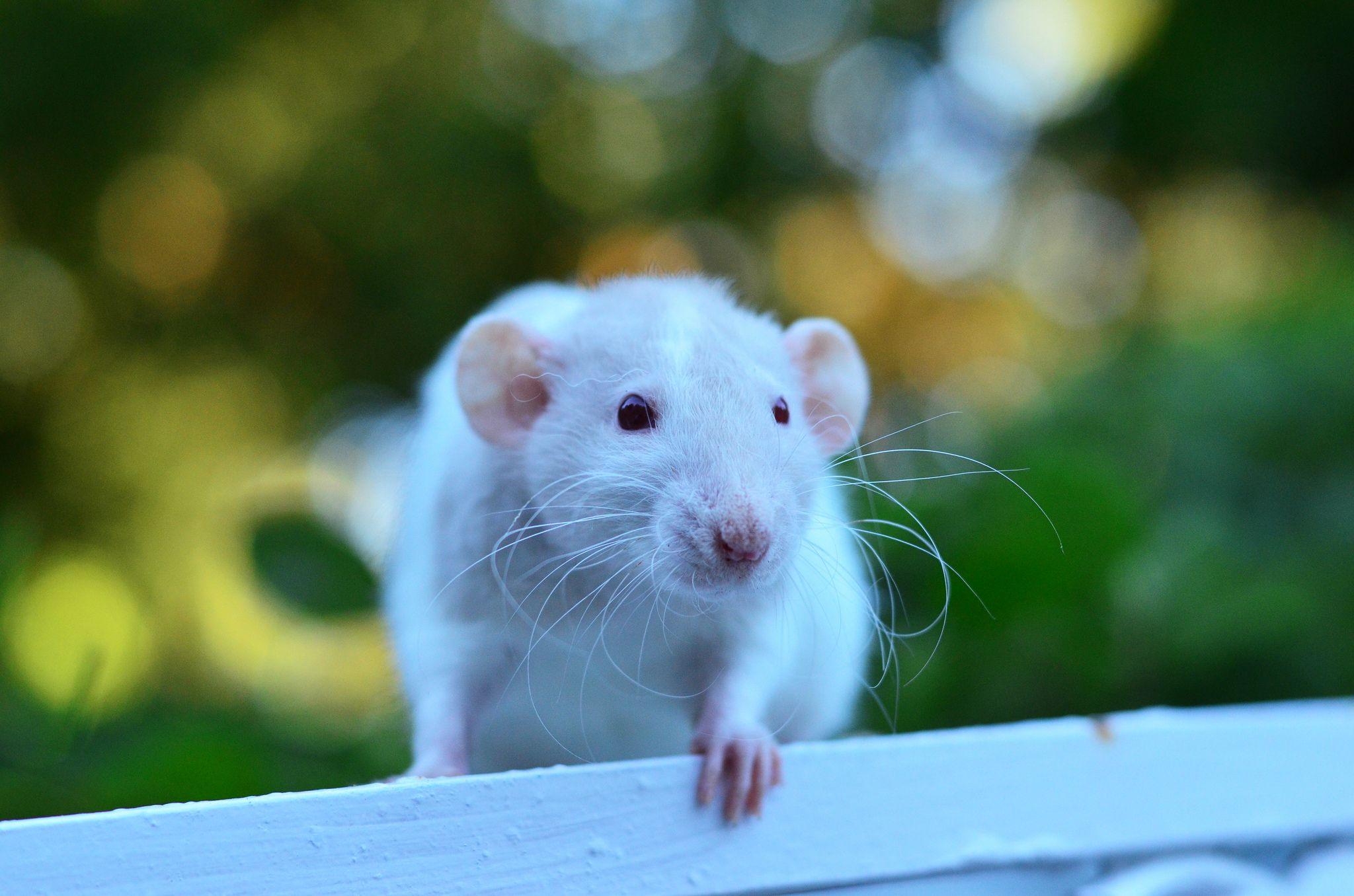 Pin on Pet Rat Lovers