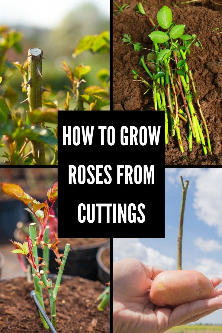 How To Grow Roses From Cuttings is part of Rose cuttings, Growing roses, Rose garden design, Planting roses, Rose bush, Cutting garden - Do you have a desire to fill your garden with sweet smelling roses  Growing them from cuttings is the best way to go and here's all you need to know